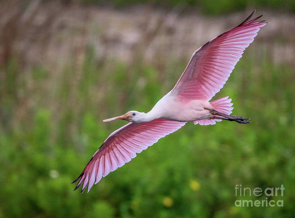 Poster featuring the photograph Gliding Spoonbill by Tom Claud