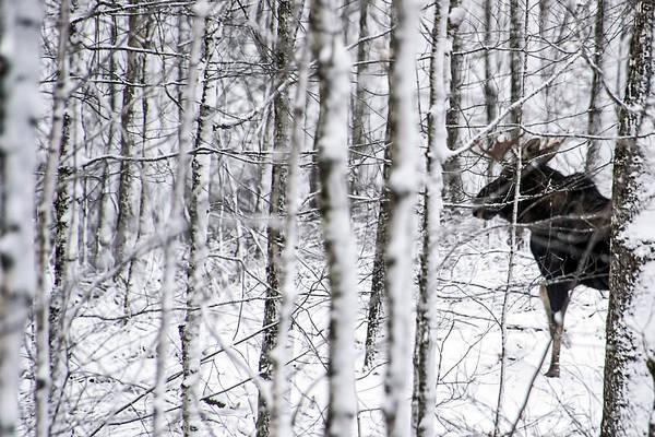 Glimpse Of Bull Moose Poster