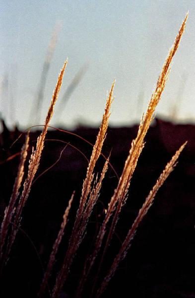 Glistening Grass Poster