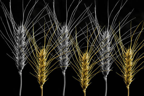 Gold And Silver Wheat Poster