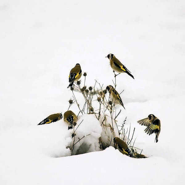 Gold Finches In Snow Poster