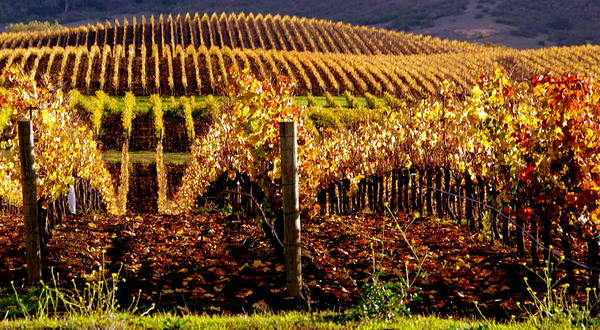 Golden Autumn Vineyard Poster