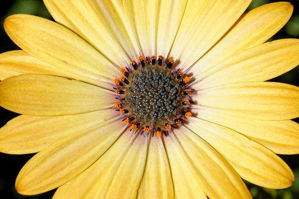 Golden Crown - Daisy Poster