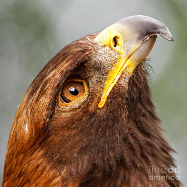 Golden Eagle - Sky Gazer Poster