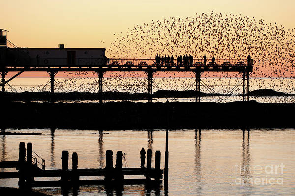 Golden Hour Starlings In Aberystwyth Poster