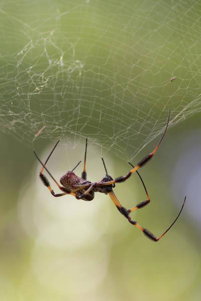 Golden-silk Spider Poster