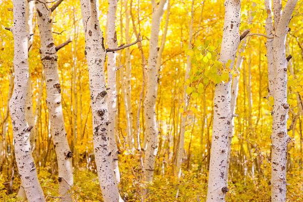 June Lake - Aspen Trees - Golden Trees Poster