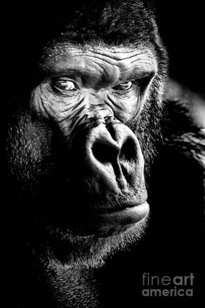 Gorilla Canvas Print, Photographic Print, Art Print, Framed Print, Greeting Card, Iphone Case, Poster