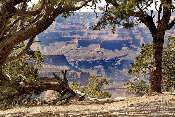 Grand Canyon Through The Trees Poster