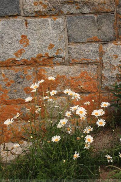 Granite Daisies Poster