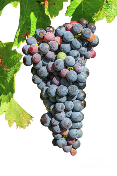 Grapes On Vine Poster