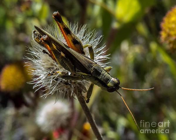 Grasshopper 1 Poster