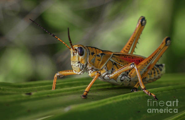 Poster featuring the photograph Grasshopper And Palm Frond by Tom Claud
