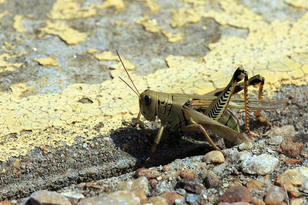Grasshopper Laying Eggs Poster
