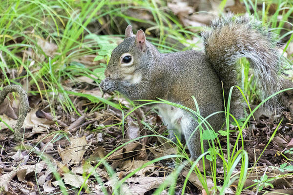 Gray Squirrel Eating Poster