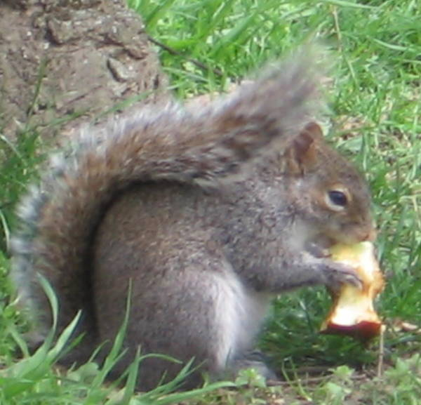 Gray Squirrel With An Apple Core Poster