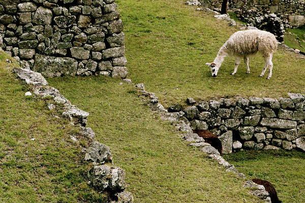 Grazing In Machu Picchu Poster
