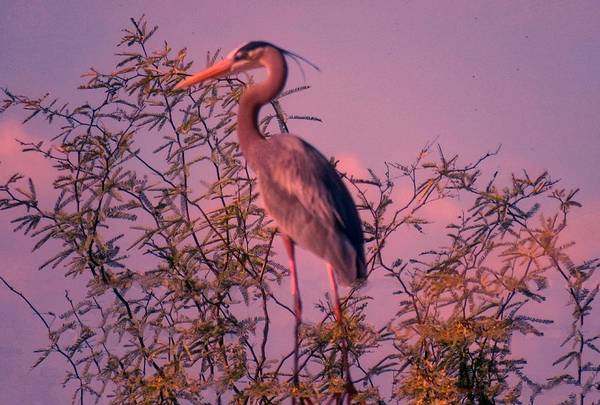 Great Blue Heron - Artistic 6 Poster