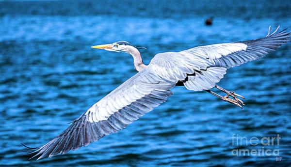 Great Blue Heron Flight Poster