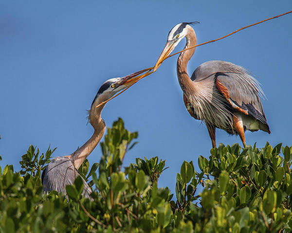Great Blue Heron Nest Building Poster