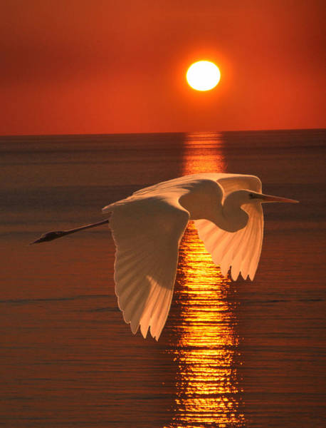 Great Egret At Sunset Poster