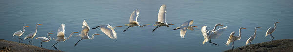Great Egret Flight Sequence Poster