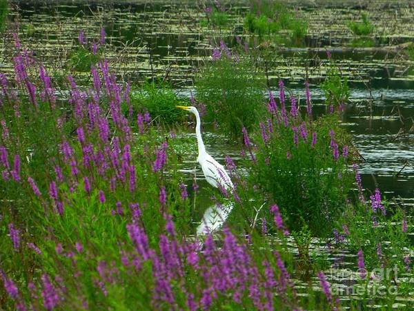 Great Egret - Purple Poster
