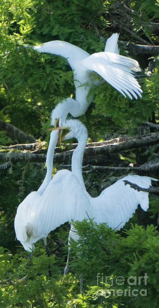 Great Egrets Horsing Around Poster