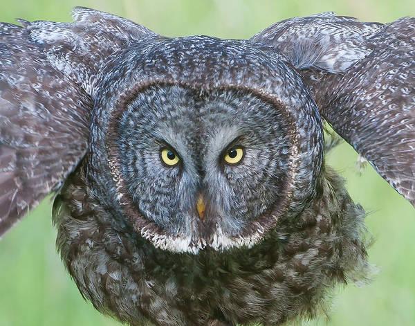 Great Gray Owl Flight Portrait Poster