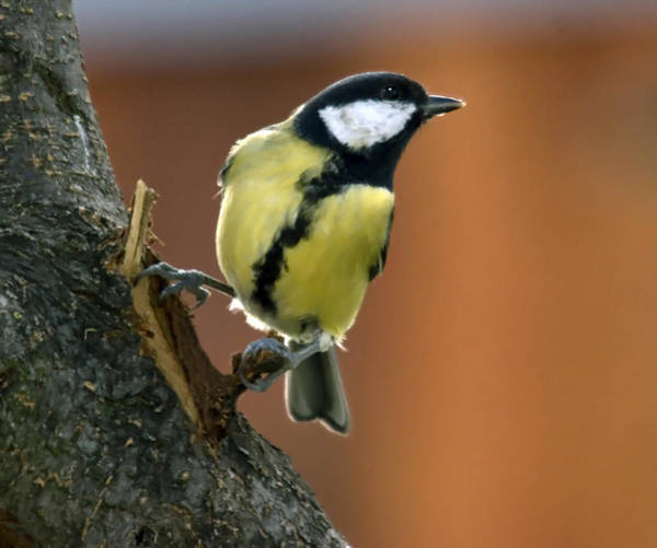 Great Tit  Poster
