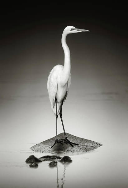 Great White Egret On Hippo Poster