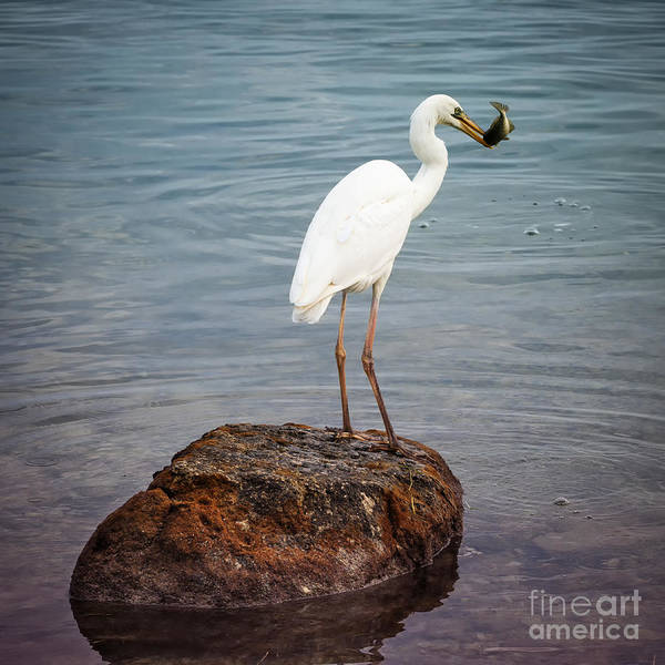 Great White Heron With Fish Poster