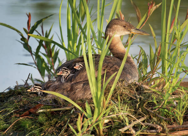 Grebe And Chicks Poster