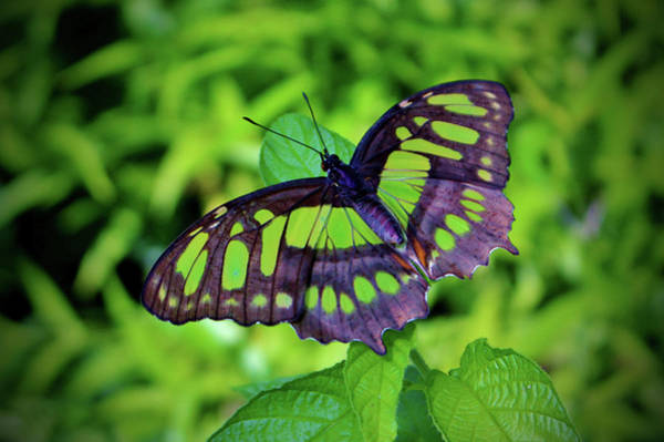 Green And Black Butterfly Poster