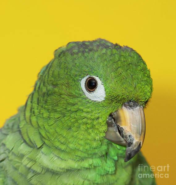 Green Parrot Head Shot Poster