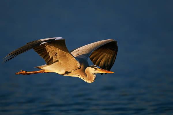 Grey Heron In Flight Poster