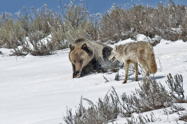 Grizzly With Coyote Poster