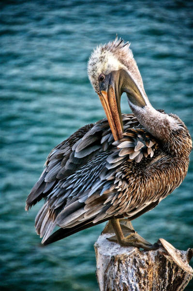 Grooming Session, California Brown Pelican Poster
