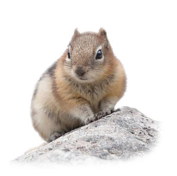 Ground Squirrel T-shirt Poster