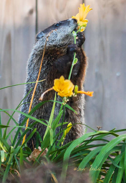 Poster featuring the photograph Groundhog And Flowers by Edward Peterson