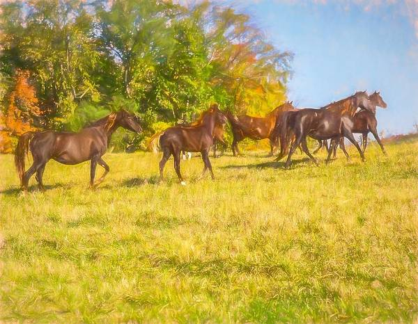 Group Of Morgan Horses Trotting Through Autumn Pasture. Poster