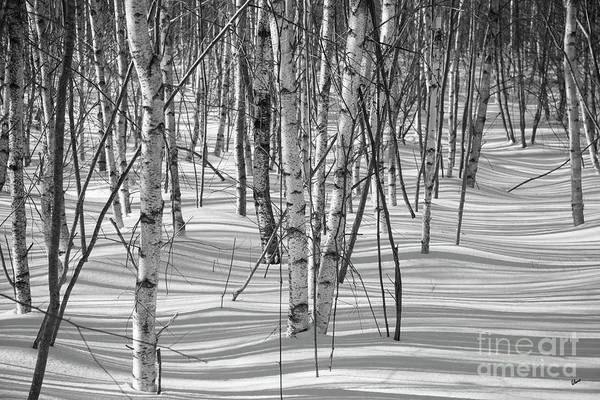 Group Of White Birches Poster