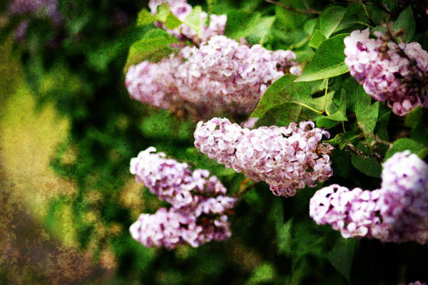 Grunge Lilacs Poster