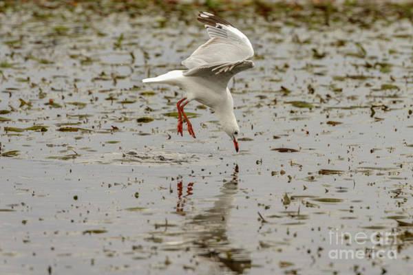Gull Fishing 01 Poster