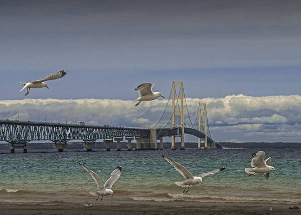 Gulls Flying By The Bridge At The Straits Of Mackinac Poster