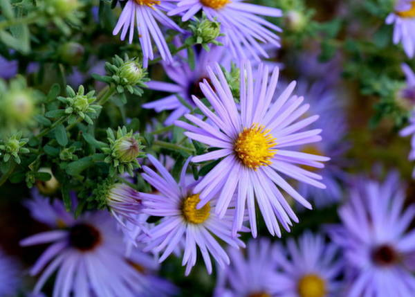 Hardy Blue Aster Flowers Poster