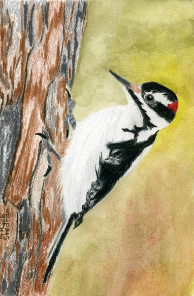 Poster featuring the drawing Harry The Hairy Woodpecker by Rich Stedman