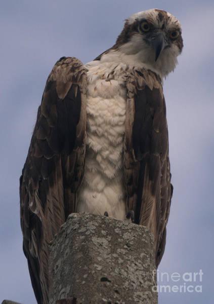 Hawk Attitude Poster