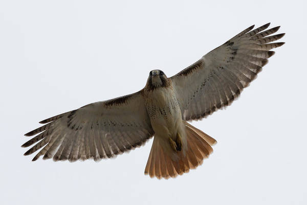 Hawk Overhead Poster
