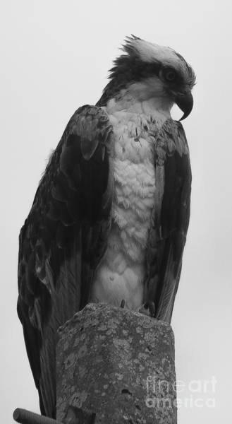 Hawk Perched Poster
